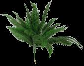 Boston Fern W/32 Leaves App 60cm Diameter