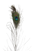 """Peacock Feathers Lge X 40 30"""" - 35"""""""