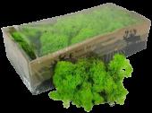 Reindeer Moss (Icelandic Moss) Apple Green (Spring)