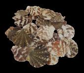 Shells - Pectin Radula 1kg
