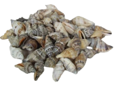 Shells - Strombus Brown Urceus
