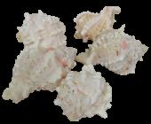 Shells - Pink Murex x 1 kg