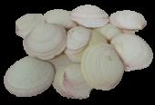 Shells - Codackia Tigrena x 1 kg