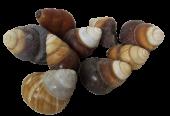 Shells - Brown Landsnail x 25pcs
