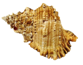 Shells - Bursa BoBo 8inch Up x 1
