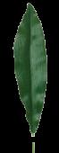 Aspidistra Leaf 75cm