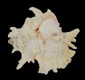 "Shells - Murex Ramosus 8"" Up"