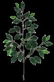 Ficus Spray Variegated  x 42 Leaves 68cm