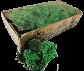Reindeer Moss (Icelandic Moss) Pacific Green