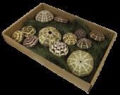 Shells Sea Urchin Paya Paya x 12pcs