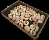 Shells Sea Urchin Pink x 60pcs