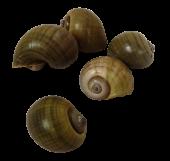 Shell Caracol Natural Green x 15pcs