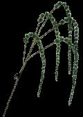 Sparkle Amaranthus 115cm