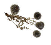 Dried Echinops Bunch