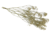Dried Gypsophilia Bunch