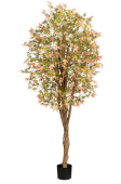6' California Maple Tree