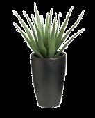 36inch Aloe Vera With Deluxe Pot