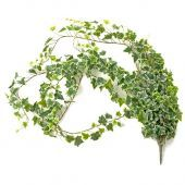 Large Ivy Bush Variegated 182cm