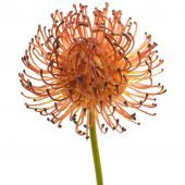 Protea Pincushion Burgundy 28cm Stem