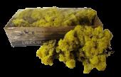 Reindeer Moss (Icelandic Moss) Lemon Yellow