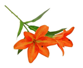 46cm Tiger Lily Spray Orange