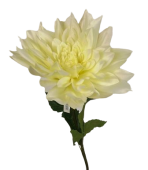 Queen Chrysanthemum Cream