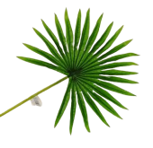 Real Touch Fan Palm Leaf Green 50cm
