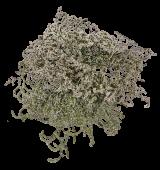 Dumosa (Statice Tatartica) x 100g Approx