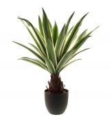 62cm Dracaena Plant In Pot Cream/Green