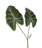 Alocasis Leaf 55cm