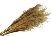 Spanish Pampas Grass x 5pcs App 110cm