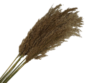 Wild Reed Plume (Pampas) Natural x 10 Stems App 75cm