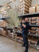 Washingtonia Palm Large
