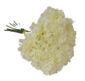 39cm Cream Carnation Hand Tied