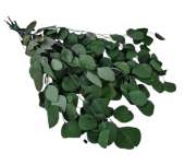 Preserved Populus Eucalyptus Green