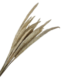 Mini Pampas Natural x 20 Stems