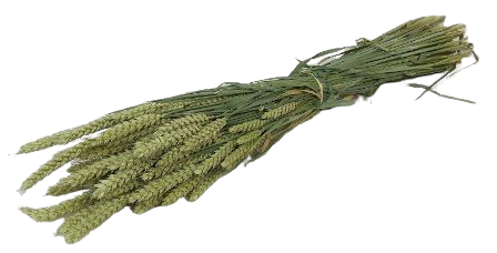 Dried Wheat Natural Bunch (Dutch)
