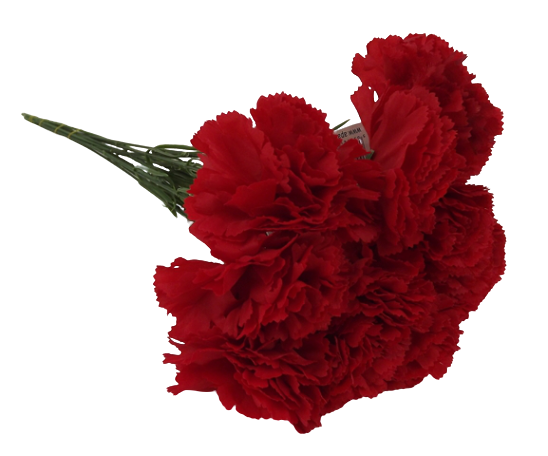 Bloom Carnations Red x 12 Stems
