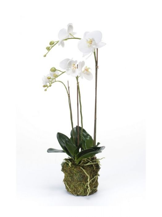 Phalaenopsis Plant With Moss White 70cm