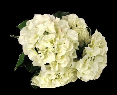 Cream 43cm Hydrangea Bush