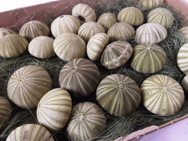 Shell Sea Urchin Green x 30pcs