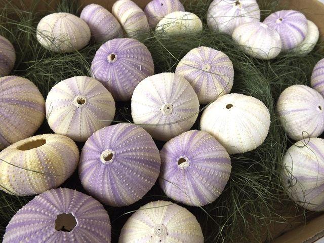 Shell Sea Urchin Violet x 25pcs