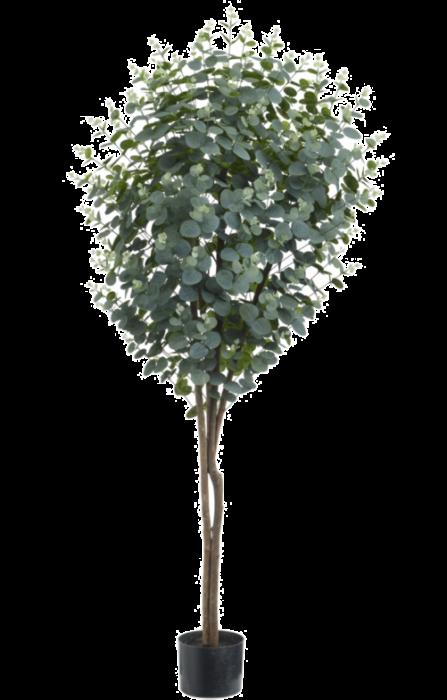 5' Eucalyptus Tree