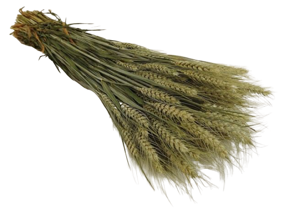 Dried Bearded Wheat Bunch (English)