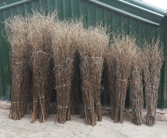 Contorted Willow Large App 7 - 8 ft x 5 Stems