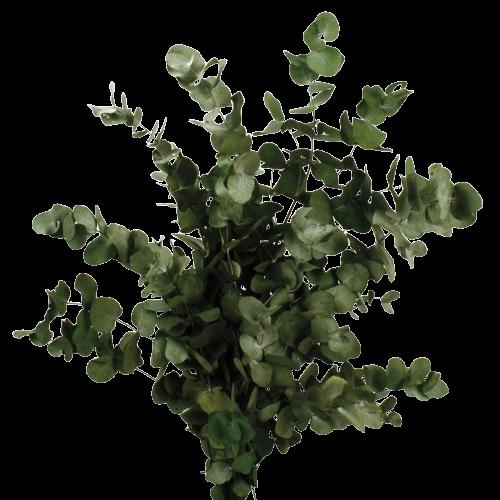 Preserved Spiral Eucalyptus - Green - 150g