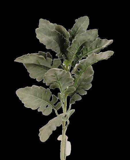 Dusty Miller - Green/Grey 46cm