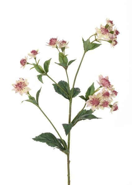 Astrantia Spray - 77cm Pick/Cream