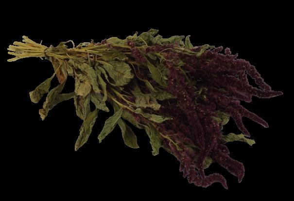 Amaranthus Red (English)