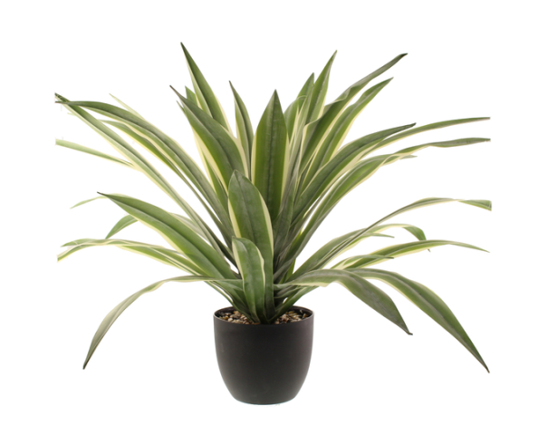 74cm Dracaena Plant In Pot Cream/Green